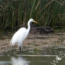 phoca thumb m Eastern Great Egret  Anthea Fleming